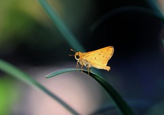 8-30-14 128 Welcome September!! (KatieKal) Tags: macro butterfly insect golden skipper canonmacrolens canon60d 83014