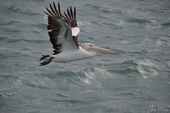 DSC_0016 (RUMTIME) Tags: bird nature birds fly flying flight feathers feather pelican queensland coochie coochiemudlo abigfav avianexcellence