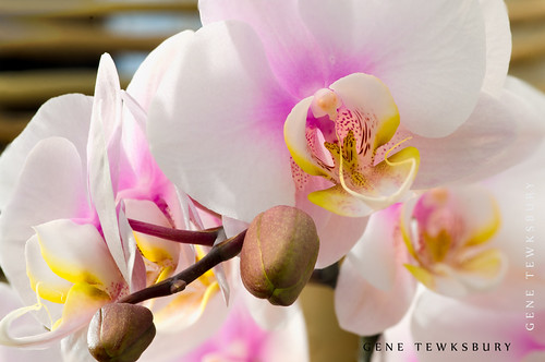 Orchids_1103_03-10-13-tewksbury-Edit