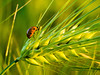 The world of a ladybug (II) (PixPep) Tags: sunset macro nature beautiful dof beautifullight ladybug beautifulnature beautifulsunset macrolandscape beautifulcolours beautifulbokeh