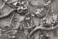 Intricated plant growing onto a wall, black and white (Marco Venturini Autieri) Tags: wood blackandwhite stilllife plant abstract tree nature wall photography leaf branch image nobody curvy curly twig vegetation complexity bent creeper botany toned complex twisted intertwined intricacy beautyinnature tortuoso