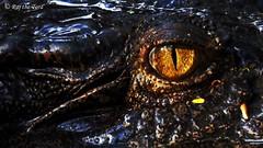 Dragon Eyes & Ears! (Raj the Tora) Tags: asia australia crocodile croc saltwater crocodylus porosus saltie asiapacific saltwatercrocodile crocodylusporosus australiancrocodiles saltwatercroc asiancrocodiles