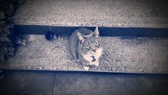 Gina (Kenneth Wesley Earley) Tags: pet pets cat spokane northcentral spokanewa 99205 blueandwhitephoto emersongarfield oneography htconem8 blueandwhitesepia