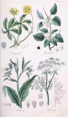 Anglų lietuvių žodynas. Žodis carum carvi reiškia <li>carum carvi</li> lietuviškai.