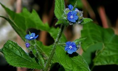 Alkanet (standhisround) Tags: blue plant flower wildflower borage alkanet evergreenbugloss