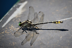 Dragon Fly Hitching a Canoe Ride (Marcy Leigh) Tags: nature dragonfly canoe