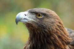 AGUILA REAL 8 (castorssito) Tags: bird nature birds zoo nikon aguila zoologico goldeagle aguilareal aragonzoo nijkond3200
