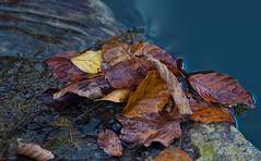 cascade of autumn leaves (cherryspicks (intermittently on/off)) Tags: autumn fall leaf water season outdoor nature leaves color cascade