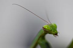 Mantis (JOAO DE BARROS) Tags: barros joao mantis portrait insect macro