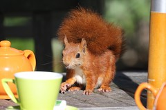 Red squirrel (Andrew Abbott) Tags: tresco squirrel scilly