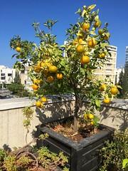 Clementine Tree (Assaf Shtilman) Tags: clementine tree fruit citrus plant pot