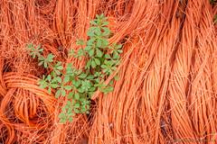 """""""Bound of unbound...?"""" (Dirk van der Veen) Tags: rope orange weed"""