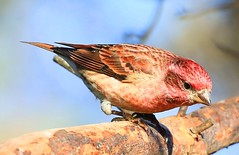 purple finch male at Lake Meyer Park IA 854A7417 (lreis_naturalist) Tags: purple finch male lake meyer park winneshiek county iowa larry reis