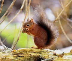 Red squirrel (Harry Lines) Tags: red squirrel brownsea wildlife nature
