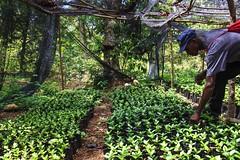 2016 Oct - Saturne coffee & moringa nursery (Foods Resource Bank) Tags: haiti caribbean coffee farmers men women pruning improved income humanitarian food security development charity hunger