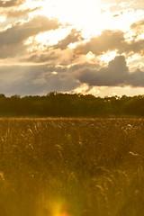 Fields of Gold  #Farm #FarmCountry #Wheat #WheatField #Sunset #Sun #Clouds #CloudPorn #Sky #SkyPorn #UrbanExplorer #Urbex #Rural #Wanderlust #Ohio (kallyone) Tags: farmcountry sunset urbanexplorer skyporn urbex wheatfield farm cloudporn wheat clouds rural sun ohio wanderlust sky