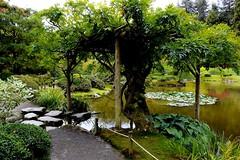 Wisteria-Seattle Japanese Garden (Aurora Santiago Photography) Tags: pond arbor seattlejapanesegarden seattle wisteria mirrorless nikon1v3