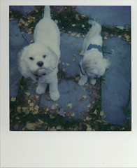 Puppy Polariod (Maddyphotographer) Tags: dog polariod film impossiblefilm impossible impossibleproject puppy sheepdog mutt rescuedogs rescue adoptdontshop tinymutt poodlemix poodle
