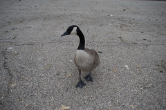 Goose (Boyd Shearer) Tags: kentucky covington riverfrontidentity