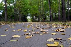 Route d'automne... (LILI 296 ...) Tags: automne france toulouse feuilles arbres peupliers hautegaronne midipyrnes route