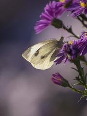 Sur un air de fin d't (Titole) Tags: piride whitecabbage purple aster titole nicolefaton shallowdof butterfly