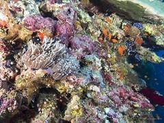 Karam Masmarit - Reef (Sudan - Red Sea) (JuanAnd-erwater) Tags: seleccionar