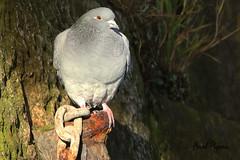 FERRAL PIGEON / RAMSGATE HARBOUR / KENT / UK / EXPLORED. (Tom Webzell) Tags: naturethroughthelens