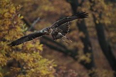 Aquila del Cile (carlo612001) Tags: aquila aquiladelcile aquilacilena falconeria eagle wings predators raptors falconry wildlife narure bird birds animals