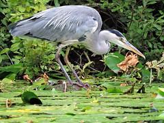 Heron (PhotoLoonie) Tags: greyheron heron britishwildlife ukwildlife wildlife nature