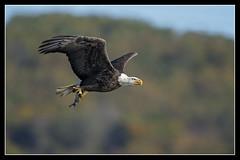Autumn Eagle... (DTT67) Tags: baldeagles eagles birds bif autmumn fall nationalgeographic nature wildlife conowingo susquehanna maryland canon 1dxmkii 500mmii