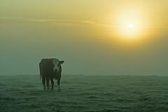 20161010-08_Hazy Sun_Dawn Mists + Cattle (gary.hadden) Tags: rugby warwickshire littellawford kingsnewnham middleengland landscape dawn sunrise mist softlight goldenhour cow cattle bullock cows
