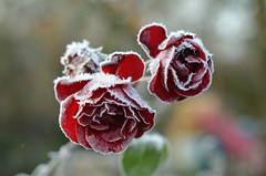 Gefrorenen Rosenblüten (Maexeltaexel) Tags: winter blüte blume knospe sonne eiskristalle kristall frost roterosen rosen rot