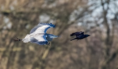 Heron (johnthistle) Tags: reserve lodge maple heron bird flight
