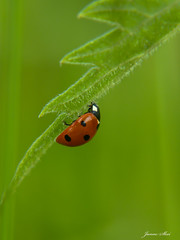 Hope and happiness (janne.skei) Tags: ladybird ladybug red black green grass garden background dots insect bug outdoor alone animal beautiful color colorful closeup minimalistic light wildlife lumix lovely magic moment macro nature norway panasonic plant macromarvels ngc