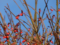 Winter Berries (barbaragaillewis) Tags: sony sonyhx9v outdoors nature sky blue bokeh berries winter december 2016 shiawasseecounty michigan