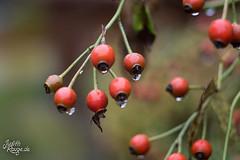 Autumn Melancholy (judithrouge) Tags: regen rain hagebutten rosehip autumn herbst drops tropfen regentropfen raindrops melancholy melancholie garden garten