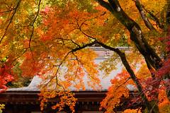 colour of autumn (t.kunikuni) Tags:    jp               japan ibarakiken ibaraki kujigun kuji daigomachi daigo fukurodafalls waterfall autumn fall red