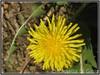 Tarassaco comune - (Dente di Leone) - Löwenzahn (Rossella Di Gioia) Tags: löwenzahn dente di leone tarassaco comune fiore blumen flower natura colore prato