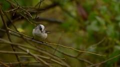 Long Tailed (J @BRX) Tags: adeldam goldenacrepark bramhope leeds yorkshire england uk november2016 autumn yorkshirewildlifetrust bird longtailedtit tit tits