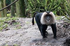 Baardaap - Wanderoo (Den Batter) Tags: nikon d7200 overloon zooparc baardaap wanderoo makaak macacasilenus