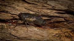 Birrima castanea (dustaway) Tags: arthropoda insecta hemiptera auchenorrhyncha cicadidae cicadettinae cicadettini birrimacastanea redtreeticker cicada australianinsects northlismore northernrivers nsw nature australia