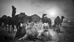 Nomads. (Padmanabhan Rangarajan) Tags: pushkar nomads camels cattle fair india rajasthan market camp fire tea brewing
