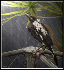 Hanging on for dear life...:D (agphoto100) Tags: bird rain wind storm wet feathers beak eye olympus sz16 photoshop photoscape frame brisbane metal hills hoist stylus outdoor animal clothesline silveraward magpie