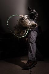 Supernova! (matthewschonert) Tags: dog jumping hoop lighting flash action high animal schnauzer mini miniature jump d500 nikon tokina 1120 atx f28