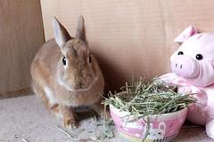 ICHIGO san 480 (mensore) Tags:  rabbit bunny netherlanddwarf brown