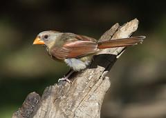 Northern Cardinal, female (AllHarts) Tags: femalenortherncardinal backyardbirds memphistn naturescarousel ngc npc