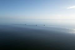 IJsselmeer DSCF2831 a (Denkrahm) Tags: ijsselmeer nederland water lake see meer afsluitdijk three drie fulicaatra meerkoet blässhuhn eurasiancoot coot