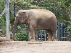 Elephant (RV Bob) Tags: animal zoo sydney tarongazoo australia gx85