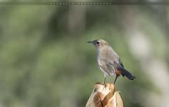 Indian Robin (Female) (Afaque's Photography) Tags: robin indianrobin birds wild wildlife kathore karachi sindh pakistan