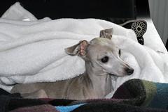 Schlafmütze - sleepy head (borntobewild1946) Tags: schlafmütze sleepyhead kuscheltier italienischewindspiele windhund greyhound dog hund windhundkopf decke wolldecke hundedecke copyrightbyberndloosborntobewild1946 italiangreyhound